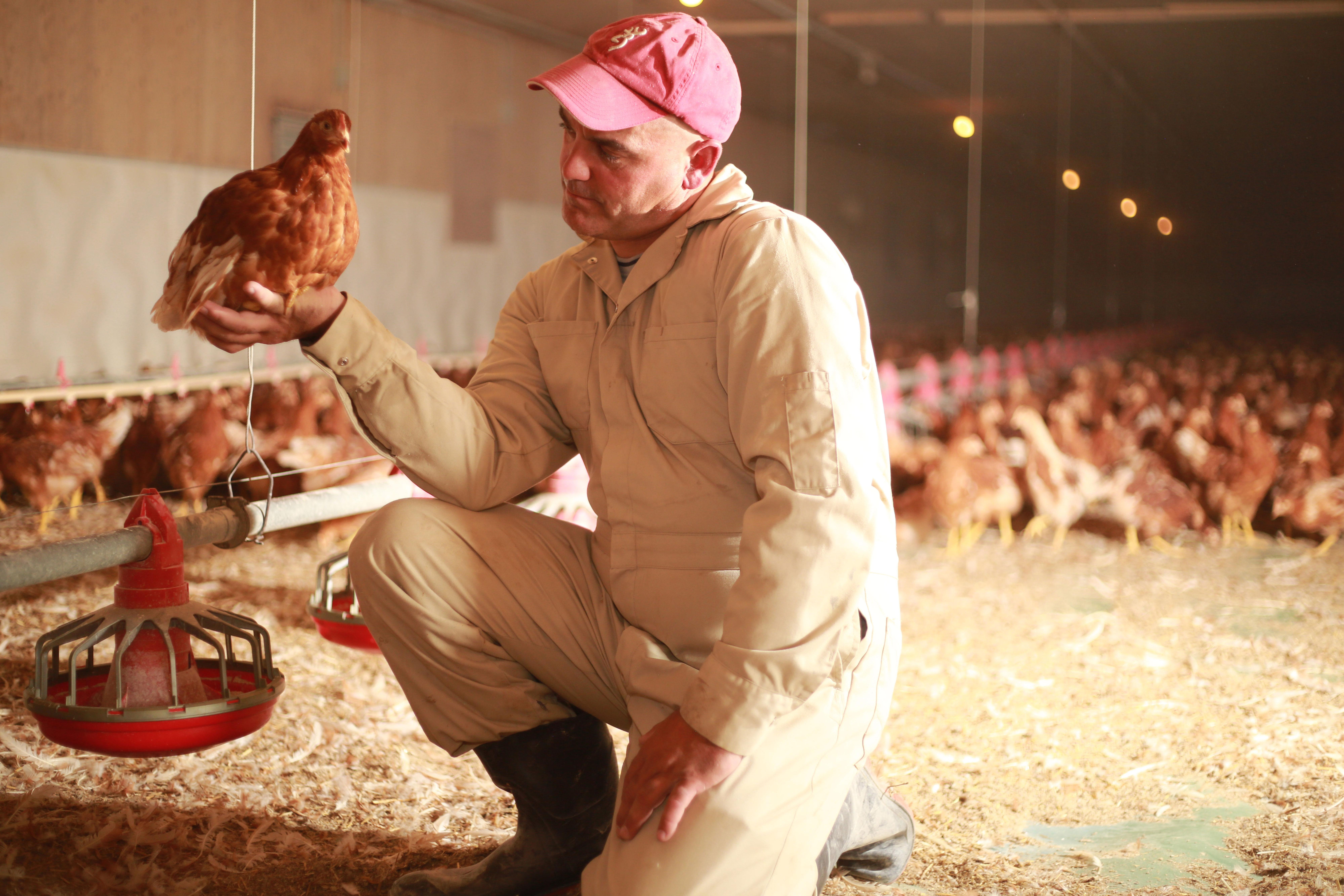Farmer in chicken barn looking at brown hen