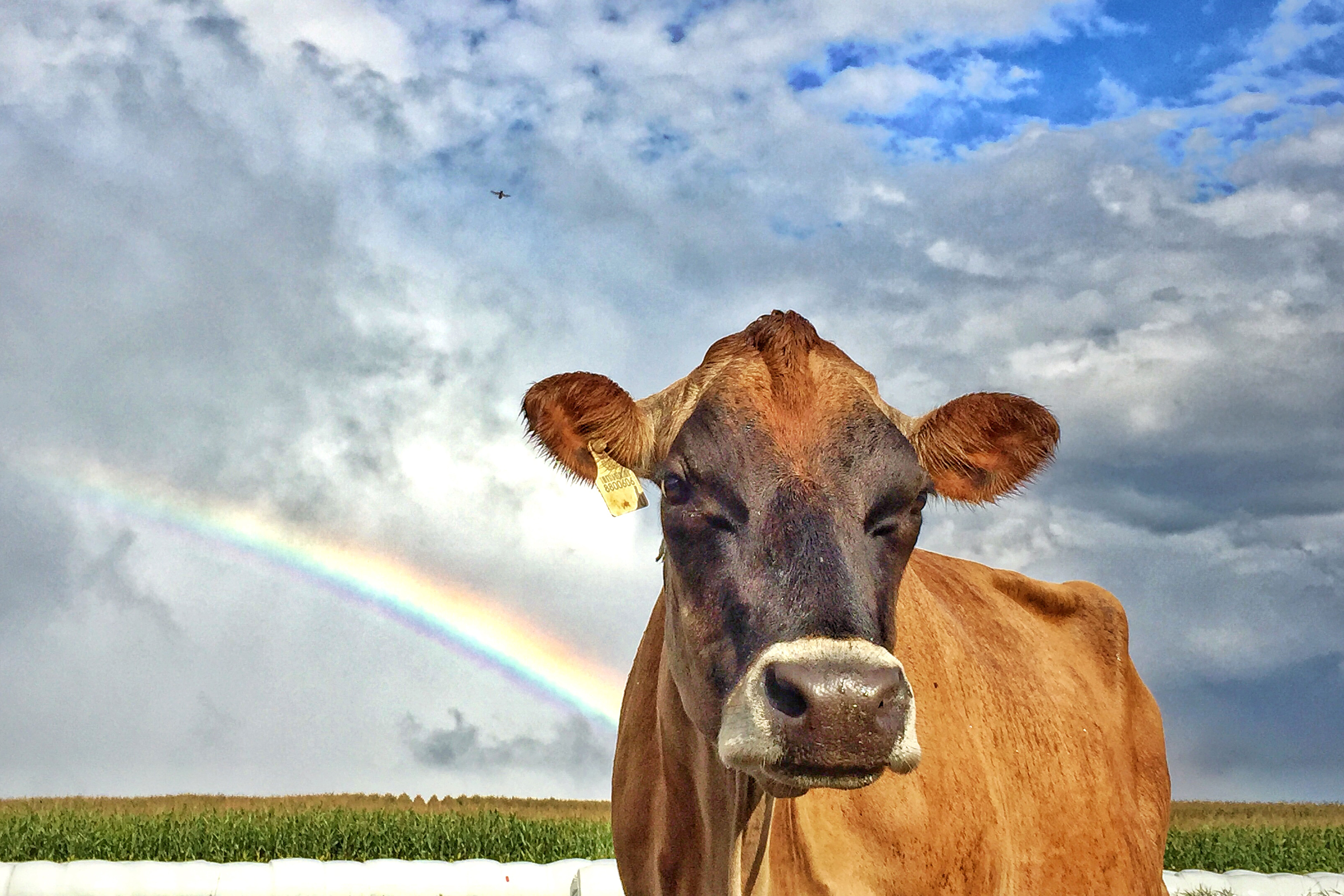 Jersey cow with clouds and rainbow in background